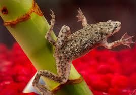 african dwarf frog wikipedia