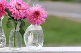 dalia in vaso foto gratis dalia vaso flor naturaleza rosa imagen gratis