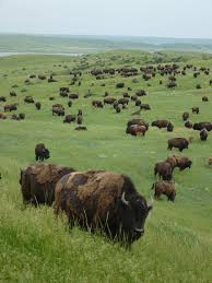 North Dakota wild animals images 85 best mighty buffs images american bison buffalo jpg