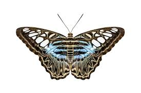 blue tiger striped butterfly stock image image of tiger brown