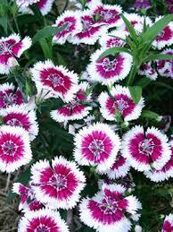 dianthus flower dianthus grow guide