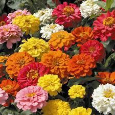 Zinnia Flower Zinnia Seeds From Around The World In Retail Packs