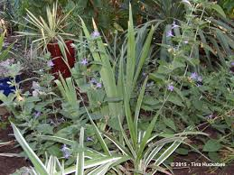 native tasmanian plants late summer texas garden my gardener says u2026