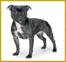 american pitbull terrier akc staffordmall the sbt standard