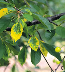 yellowing leaves and leaf loss reported in tart cherries msu