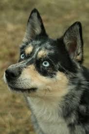 incrocio border collie x australian shepherd border jack border collie jack russell terrier hibryd dog cani