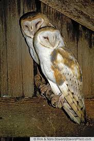 North American Barn Owl Barn Owl Birds Of North America Online