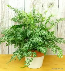 Inside Plants by Pteris Ensiformis Silver Lace U0027 Ferns Pinterest Fern