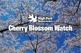 high park cherry blossom high park nature centre
