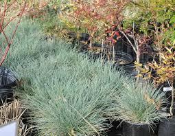 ornamental grass elijah blue whistle hill nursery
