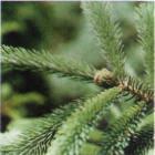 buy balsam fir christmas trees online