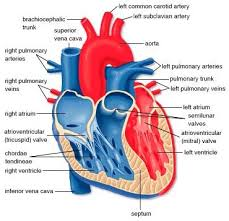 The Human Anatomy Pictures Best 25 Heart Diagram Ideas That You Will Like On Pinterest