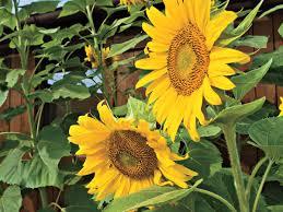 flower gardening 101 sunflowers for gardens southern living