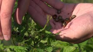 hand pick colorado beetles bugs parasite insect from potato plants