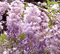 native kentucky plants aunt dee kentucky wisteria monrovia aunt dee kentucky wisteria