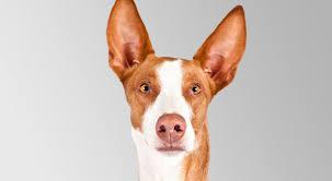 afghan hound vs wolfhound ibizan hound dog breed information american kennel club