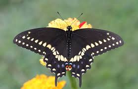 the individual markings of the black swallowtail