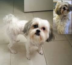 haircuts for shih tzus males what can go wrong at the dog groomer and what to do