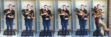 australian shepherd weight 9 weeks couple captures amazing growth of their cute pup in an incredible