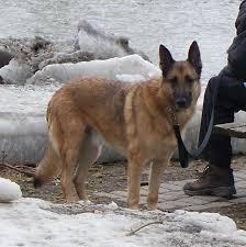 belgian shepherd malinois mix gsd x mal cross german shepherd dog forums