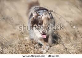 australian shepherd tan australian shepherd blue merle banco de imágenes fotos y vectores