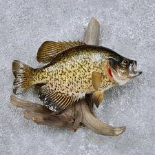 crappie fish mount for sale 14101 the taxidermy store
