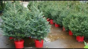 small live christmas trees in pots fishwolfeboro