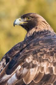 15 best golden eagles images on pinterest golden eagle eagles