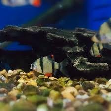 freshwater fish freshwater fish aquatic marine