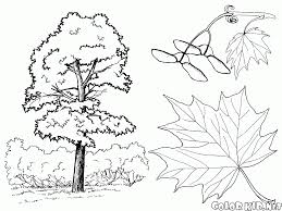 coloring page maple trees