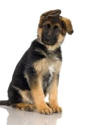 australian shepherd and cats how to train a german shepherd puppy to live with a cat pets
