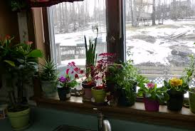 Window Sill Planter by Garden Bloggers U0027 Bloom Day January 2013 My Winter Windowsill