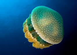 pictures jellyfish on animal picture society
