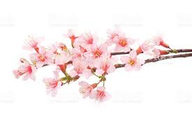 cherry blossom flowers pink cherry blossom flowers white background stock photo more