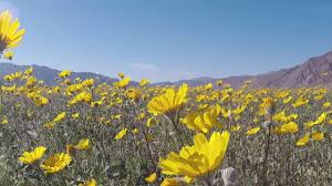 Anza Borrego Wildflowers Super Bloom by Anzo Borrego Wild Flowers 2017 Super Bloom Day 1 Youtube