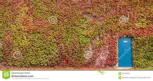 climbing plant on wall stock photo image 58726033