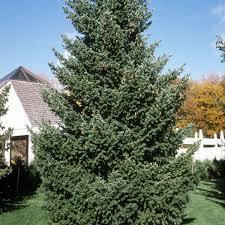 douglas fir trees buy at nature nursery