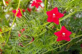 Morning Glory Climbing Plant - ipomoea quamoclit cardinal climber