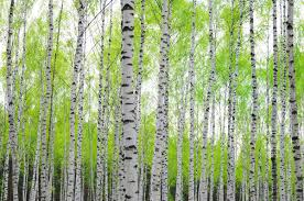 birch tree forest wallpaper by loveabode com