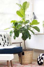 12 lovely indoor house trees