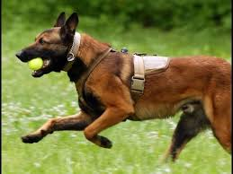 belgian shepherd dog temperament belgian malinois dog breed belgian shepherd dog malinois dog