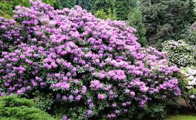 8 of the best spring flowering shrubs care2 healthy living