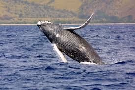 successful conservation efforts recognized in revised esa humpback