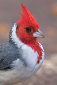 502 best birds cardinals images on pinterest beautiful birds