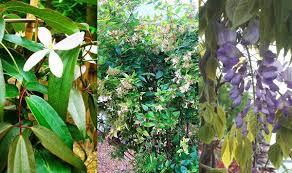 Fragrant Climbing Plants - climbing plants best evergreen climbers uk garden centre