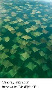 Stingray Meme - stingray migration httpstcooh3ejv1ye1 meme on me me