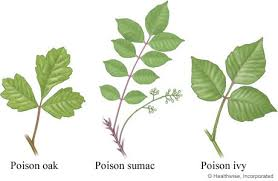 not poison in n d poison oak and sumac leaves