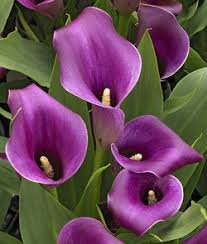 cala lillies regal calla bulb beautiful purple calla