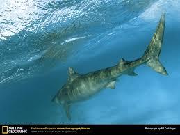 tiger shark picture tiger shark desktop wallpaper free
