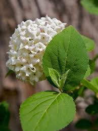 Very Fragrant Plants Fragrant Viburnum Diy